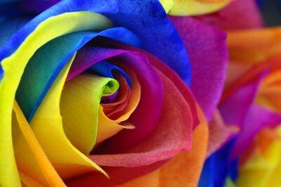 Quadro Arcobaleno rosa o un fiore felice
