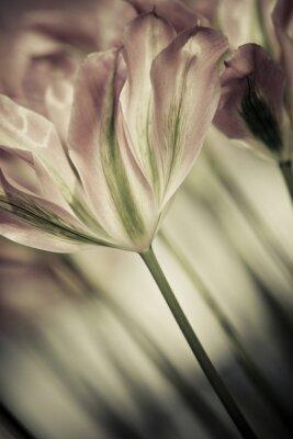 Quadro Arte di close-up tulipani, offuscata e taglienti