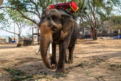 Quadro Asian Elephant