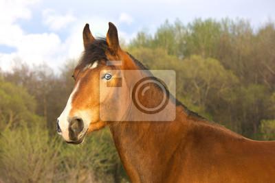 Baia di cavallo con gli occhi azzurri dipinti da parete • quadri ...