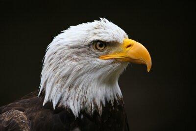 Quadro Bald Eagle Profile
