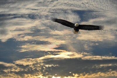 Quadro Bald Eagle volare sopra l'Alaska