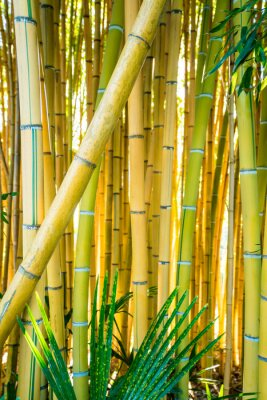 Quadro Bamboo forest. Natural background. bamboo plant