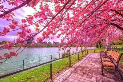Quadro Banchi sotto i ciliegi in piena fioritura durante Hanami lungo lo stagno di Shinobazu nel parco di Ueno, un parco vicino alla stazione di Ueno, Tokyo centrale. Ueno Park è considerato il miglior posto