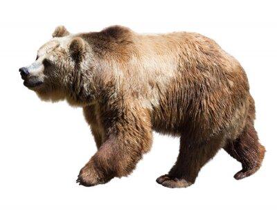 Quadro Bear. Isolato su bianco