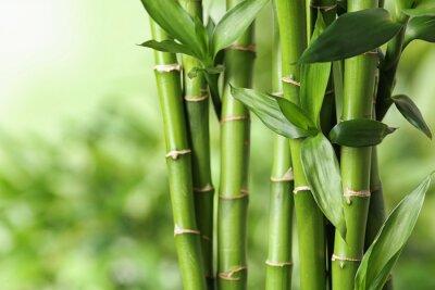 Quadro Beautiful green bamboo stems on blurred background