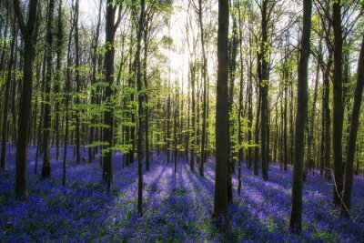 Quadro Beautiful morning in Spring bluebell forest with sun beams throu