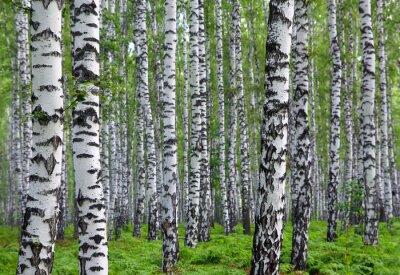 Quadro bel bosco di betulle estate