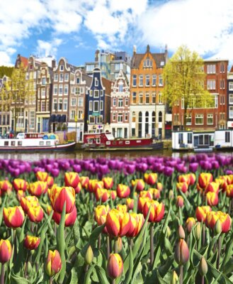 Quadro Bel paesaggio con tulipani e case in Amsterdam, Olanda