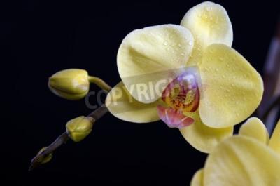 Quadro Bella colorato fiore di orchidea, phalaenopsis su sfondo nero