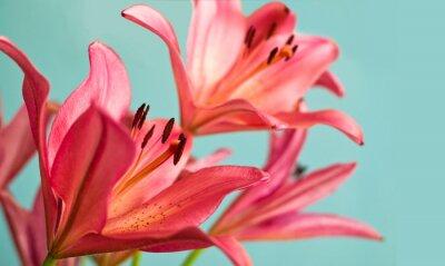 Quadro Bella gigli rosa sfondo