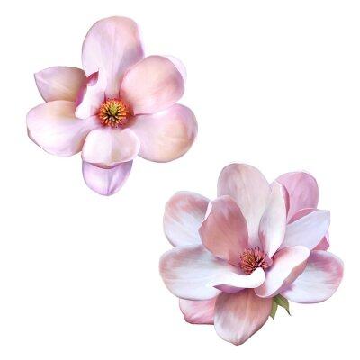 Quadro Bella magnolia, fiori di primavera isolati