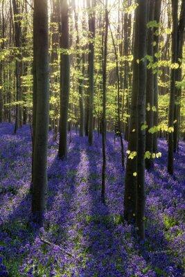 Quadro Bella mattina in primavera bluebell foresta con raggi di sole throu