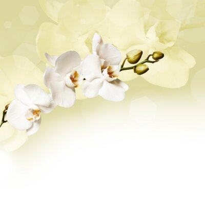 Quadro Bella orchidea bianca