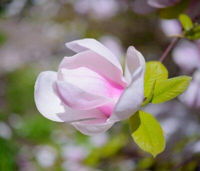 Quadro Bella rosa fiori di magnolia. Spring Background
