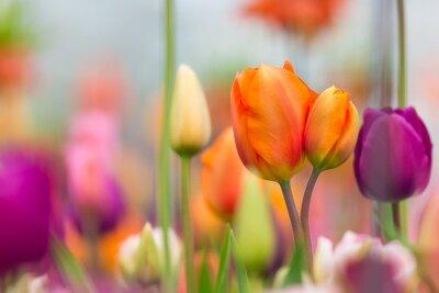 Quadro Bella vista di tulipani colorati.