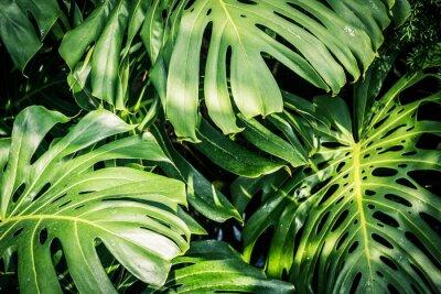 Quadro Belle foglie tropicali verdi Monstera