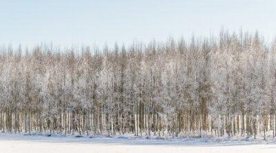 Quadro betulle invernali in Finlandia