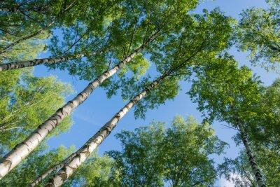 Quadro Birch contro il cielo.