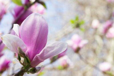 Quadro Blooming fiore di magnolia