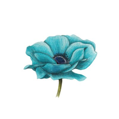 Quadro Blu anemone