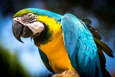 Quadro Blu e giallo macaw (Ara-ararauna)