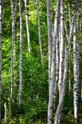 Quadro bosco di betulle