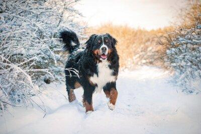 Quadro Bovaro Bernese sulla passeggiata in inverno