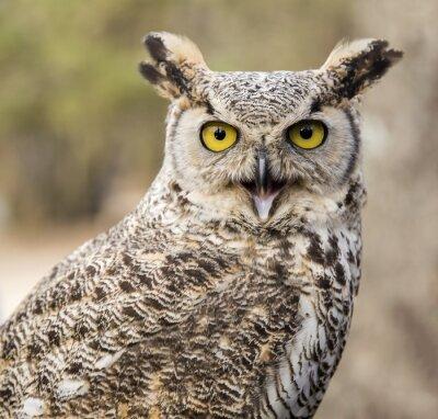 Quadro Bubo virginianus virginianus - Owl