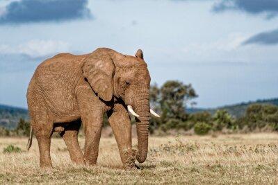 Quadro Bull Elephant