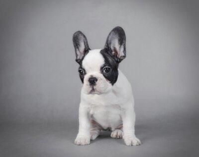 Quadro Bulldog francese
