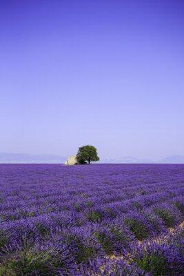 Quadro campi di fioritura fiori di lavanda con casa colonica - Provenza, Francia