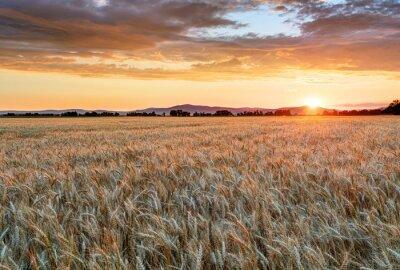 Quadro Campo di grano al tramonto