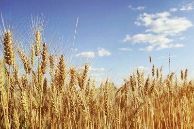 Quadro Campo di grano dorato