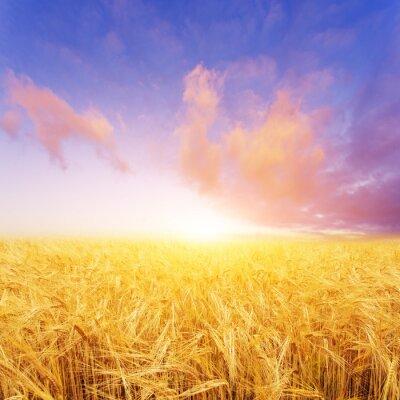 Quadro campo di grano in giorno d'estate in Nuova Zelanda