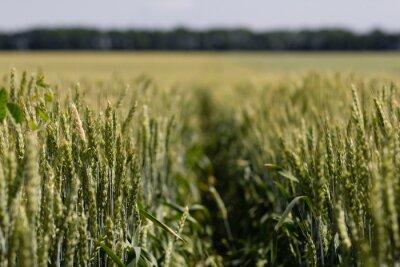 Quadro campo di grano in un giorno d'estate