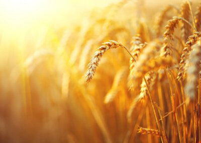 Quadro Campo di grano. Spighe di grano dorato del primo piano. Paesaggio rurale sotto la luce del sole splendente