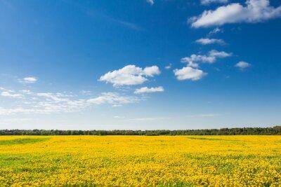 Quadro Campo di tarassaco gialli contro il cielo blu.