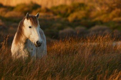 Quadro Cavallo bianco di Camargue