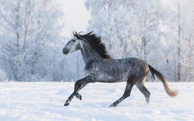 Quadro cavallo di razza al galoppo attraverso un inverno prato innevato
