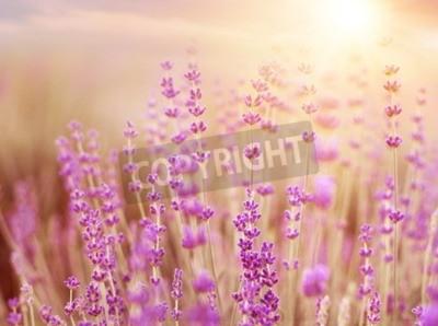 Quadro cespugli di lavanda sul piano tramonto. Tramonto brillano sopra i fiori viola di lavanda. Cespugli sul centro dell'immagine e luce del sole sulla sinistra. regione francese della Provenza.