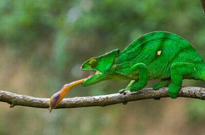 Quadro Chameleon a caccia di insetti. lingua camaleonte Long. Madagascar. Un ottimo esempio. Avvicinamento.