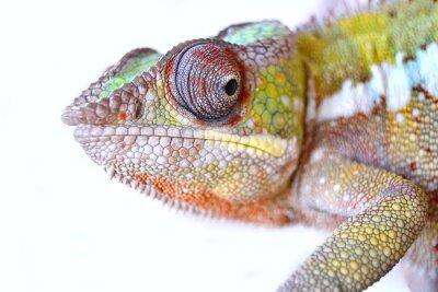 Quadro Chameleon Panther