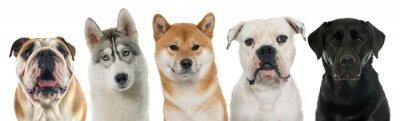 Quadro cinque cani di razza