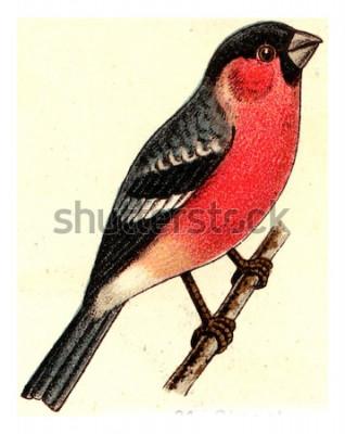 Quadro Ciuffolotto, illustrazione incisa d'epoca. Dall'atlante Deutch Birds of Europe.