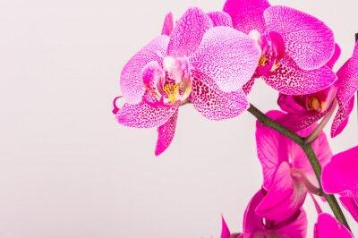 Quadro Close-up di fiori di orchidea