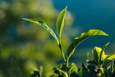Quadro Close-up di tè verde fresco lascia sul piantagione.