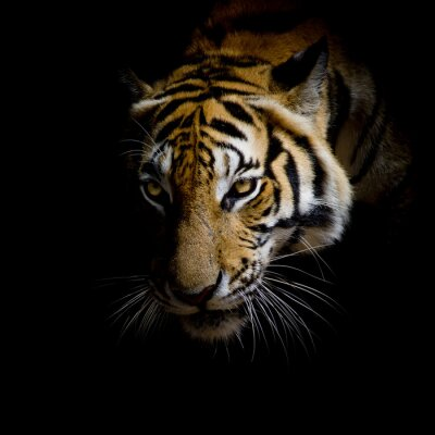 Quadro close up face tiger isolated on black background
