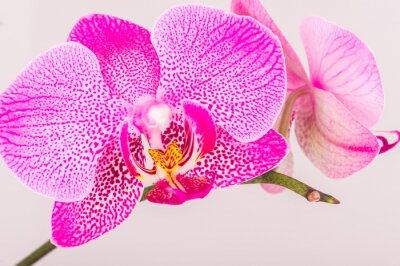 Quadro Close-up of orchid blossom