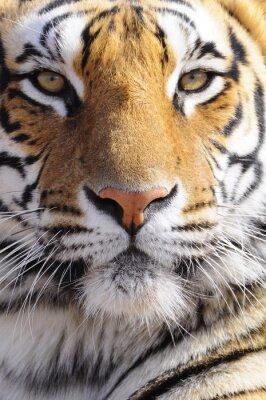 Quadro Closeup Colpo di ritratto di una tigre del Bengala